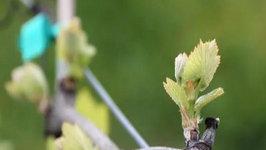 Seasons of the Vineyard: Spring