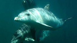 Swim with Dolphins in the Mornington Peninsula Australia