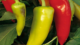 Seasons- Hungarian Hot Peppers