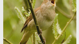 Does The Nightingale Sing Only At Night?