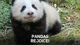 Giant panda population no longer endangered