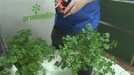 How To Produce Parsley
