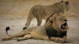 Lion Mauls Safari Guide To Death