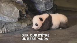 Un bb panda tente de faire ses premiers pas