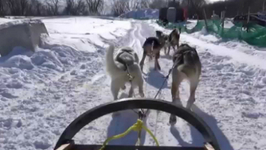 Dog Sledding At Quebec City Winter Carnival