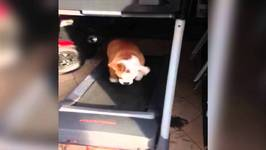 Excited Bulldog Jumps For Joy On Treadmill