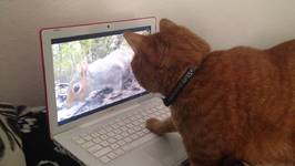Cat Looks Behind Laptop for Squirrel
