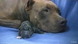 Mia's 1st Pit Bull Puppy -in HD