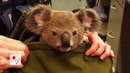 Police Find Baby Koala In Woman's Bag During Arrest