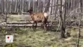 Watch- Woman with Camera Versus Charging Elk