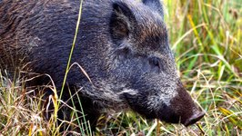 Fukushima's Radioactive Wild Boars Wreak Havoc in Japan