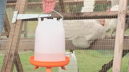 How To Keep Chickens Watered