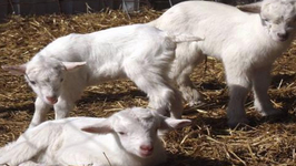 Goat Cheese Farm with Live Goats is Prize in Essay Contest