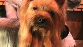 How To Know About Yorkshire Terrier