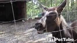 Elk Speaks Up - PetTube