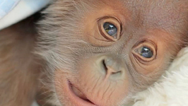 Adorable Baby Orangutan Raised by Zookeepers
