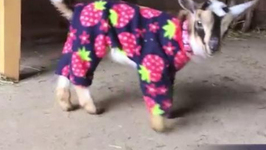 Baby Goats in Pajamas will make you scream for joy