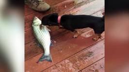 Chihuahua Protects Fish