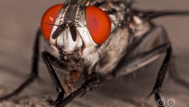 Why Do Flies Rub Their Legs Together?
