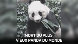 Un panda atteint l'ge impressionnant de 38 ans