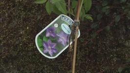Gardening School Growing Your Own Clematis