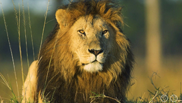 What Is The Average Weight Of An African Lion?