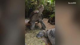 A Tortoise Becomes World's Oldest Mother At 80
