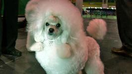 How To Know About Toy Poodles