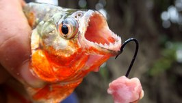 Fishing for Piranhas in the Amazon River in Peru