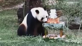 Pandastic Birthday as Xing Bao Turns One at Madrid zoo