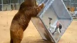 Japanese Game Show Contestant Attacked by Grizzly Bear