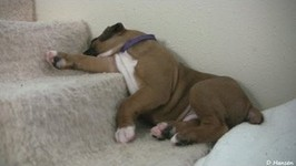 Sleepy 4 Week Old Boxer Puppies