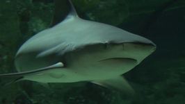 Get Up Close and Personal with Bull Shark in Antwerp