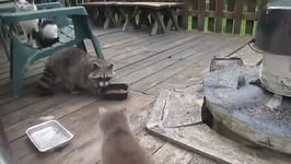 Raccoon Steals Cat's Food