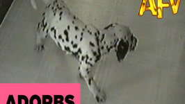 Dalmatian Puppy Takes a Tumble