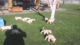 Nine Puppies Take Simultaneous Pee Break