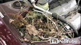 Squirrel Nests in the Car - PetTube