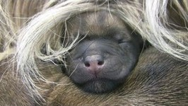 Cairn Terrier's 2 Hours Old Puppies  -in HD