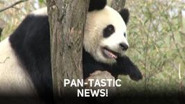 Pandas heading out of the en-dangered zone