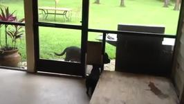 Pig Opens Doggie Door For Dog Like A Good Friend