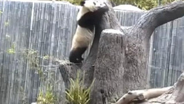 Woman Tracking Pandas' Cutest Moments for the Internet