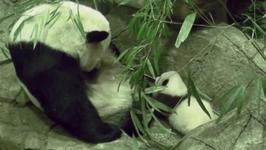 Bei Bei, The Baby Panda Takes First Wobbly Steps