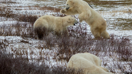 Wild Polar Bears Play Fighting