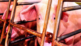 Walmart Animal Abuse with Pig Gestation Crates