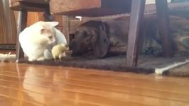 Chick Plays With Dog While Cat Watches