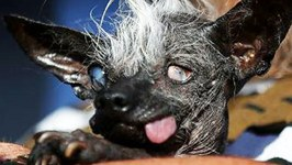 2016 UGLIEST DOG WINNER IS THIS ADORABLY GROSS THING