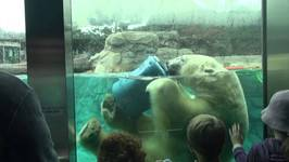 Polar Bear, Sea World, Gold Coast, Queensland