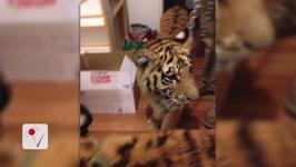 Texas Woman Arrested After Police Find Tigers in Her Home