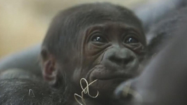Chicago Zoo Welcomes Adorable New Baby Gorilla
