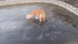 Cat tries his Paws at Ice Fishing